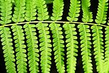 Fern frond leaf background
