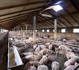 Big Pig farm
