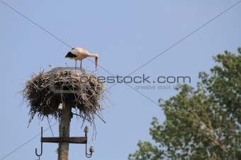 White stork
