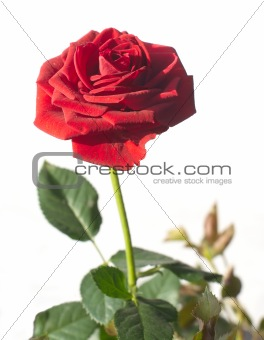 Single red rose blossom on green branch isolated on white