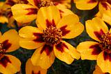wet yellow brown marigold Flower