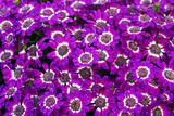 blue white purple cineraria flowers