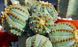 green dotted Cactus plant
