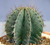 green Cactus plant