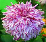 Pink striped Dahlia Flower