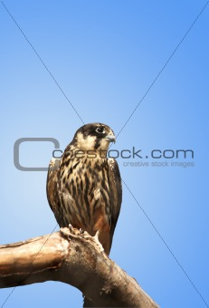 Kestrel On Blue