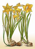 Color illustration of daffodils with bulbs vector