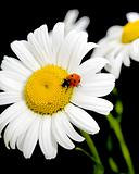 ladybug sits on a flower daisies