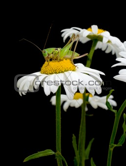White daisies and green grasshopper