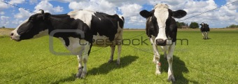 Green field with cows in summer