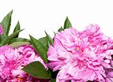 Peonies on White Background