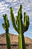 Cactus on the desert 