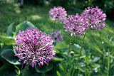 Allium aflatunense. Garden flowers.