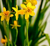 Narcissus / Daffodil on Light Background
