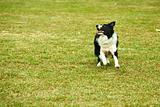 Border collie dog running
