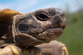 Herman's Tortoise turtle testudo hermanni