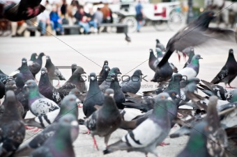 flock of pigeons on the market square