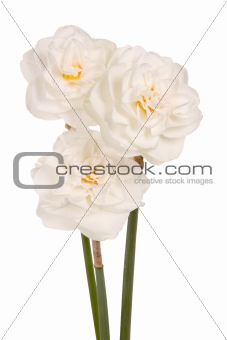 Three white double daffodils
