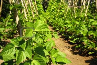 Bean plants