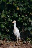 Cattle Egret Bubulcus ibis
