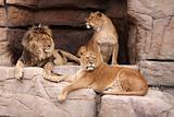 Family of lions