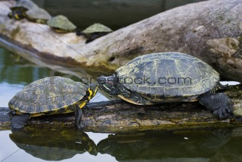 Trachemys scripta elegans - Red-Eared Sliders