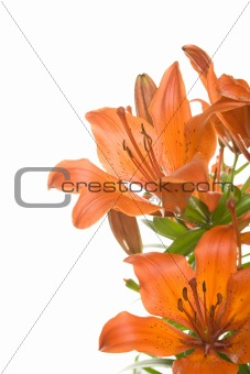Tiger lily isolated