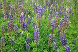 Lupine Flowers Background