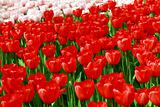 red and creamy tulips
