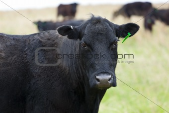 A black female cow