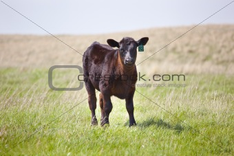 A brown calf