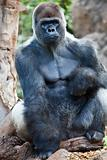 Big Gorilla