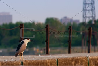 Black crowned night heron (nycticorax nycticorax