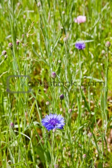 blue chicory in meadow in summer day