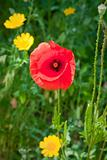 red poppy in meadow