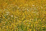 flower greenland