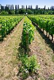 vineyard in Val de Loire