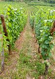 vineyard in Alsace
