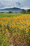 field of sunflower with mountain background