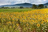 field of sunflower with mountains background