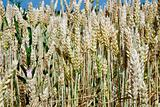 wheat ears close up in field