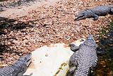 three crocodiles in hot day