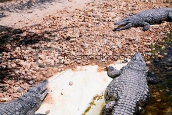 three crocodiles in hot day