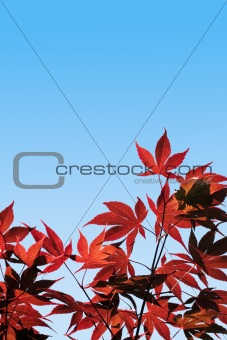 Acer palmatum, Red Maple -  with clipping path