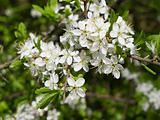 Blackthorn blooming, Prunus spinosa