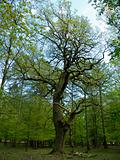 old oak tree in forest