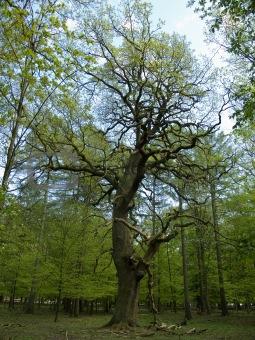 old oak tree in forest