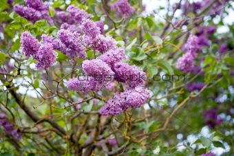 Blossoming branch of a lilac
