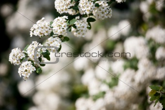 Background of little white flowers