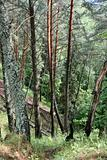 pines in forest